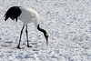 Red crowned crane delicately picking up a kernal of corn at the Tsurui winter feeding grounds, Hokkaido, Japan