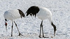 Pair of red crowned cranes at their winter feedng grounds, Tsurui Village, Hokkaido, Japan