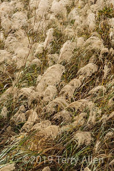 Maiden silvergrass (Miscanthus sinensis) close-up, near Nagoro Village, Iya Valley, Japan