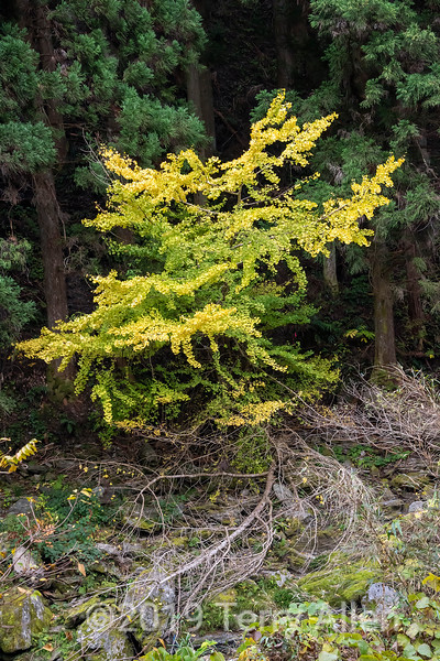 Golden ginkgo tree