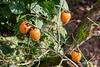 Ripe persimmons (kaki, Diospyros kaki) in the fall, Kamiyama, Shikoku Island, Japan