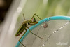 Preying mantis hunting stink bug, Jinguji temple garden, Kamiyama, Shikoku, Japan