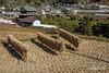 Rice harvest, Kamiyama, Shikoku Island, Japan