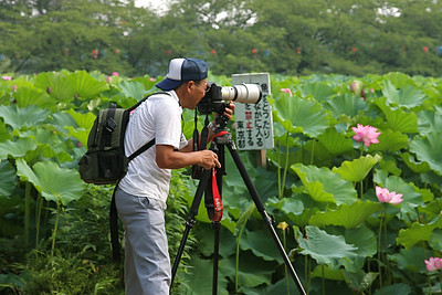 Taking photos of lotus blossoms, early morning in Ueno Park, Tokyo