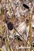 Dried locus seed heads in the late fall, Fuyosho Pond, Ritsurin Garden, Takasmatsu, Japan