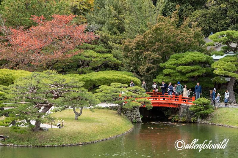 Koi hang around beneath the Bairin-kyo bridge waiting to be fed, Ritsurin Garden, Takamatsu, Japan