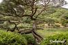 Twisted Japanese black pine (Pinus thunbergii), Ritsurin Garden, Takamatsu, Japan