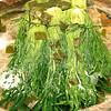 Pickled Greens