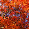 Fall colors (koyo) at Kenchoji, Kamakura.  Nov 09