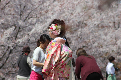 Keage under the cherry blossoms