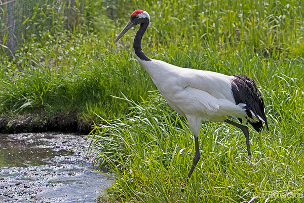 Red-Crested Crane at Japanese Crane Reserve