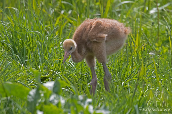 Red-Crested Crane chick at Japanese Crane Reserve