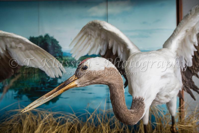 A large crane bird exhibited in Kushiro City, Subprefecture, Hokkaido, Japan.
