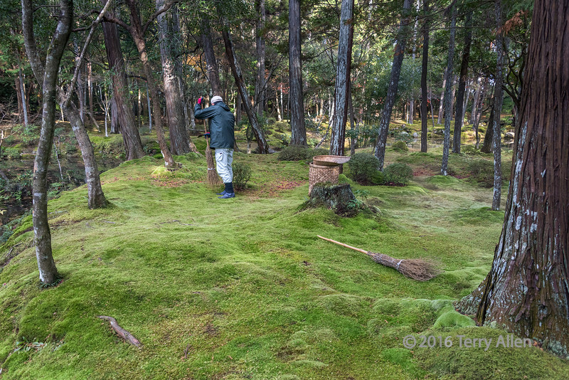 Custodian sweeping up leaves off some of the 120 different varieties of moss at Saiho-ji (Kokedara, moss temple), Kyoto, Japan