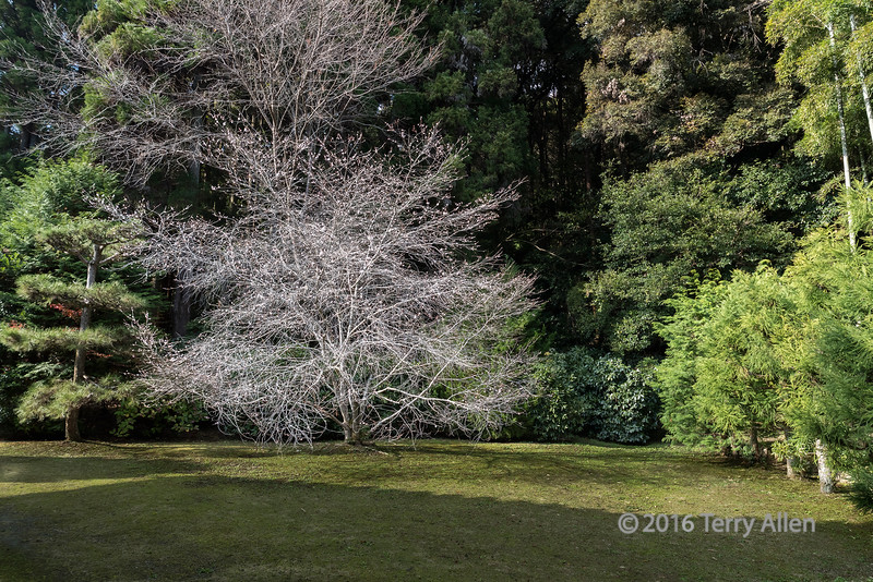 A fall blooming white tree at Saiho-ji (Takedera temple, moss temple), Kyoto, Japan