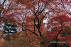 Pagoda seen through maple leaves