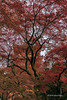 Red pagoda with red leaves, vertical, Kiyomizudera, Kyoto, Japan