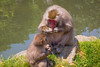 Japanese Macaque mother showing baby how to eat banana