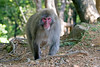 "Japanese Macaque or ""Snow Monkey"" in Kyoto"