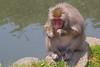 Japanese Macaque with leaf at Arashiyama Monkey Park Iwatayama