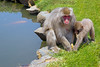 Japanese Macaque mother & baby with banana