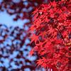 Red at Kinkaku-ji