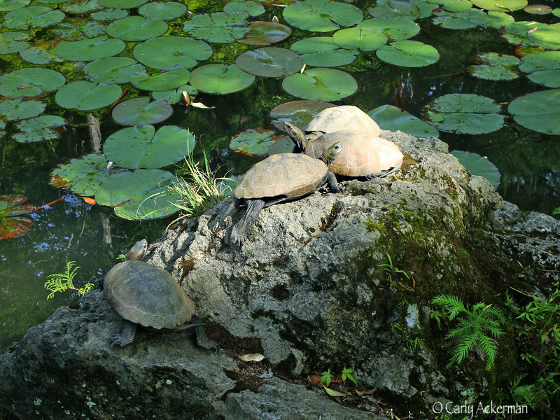 Turtles at Tenjuan