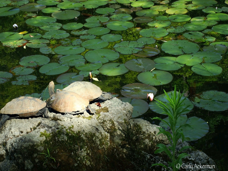 Turtles and Waterlilies