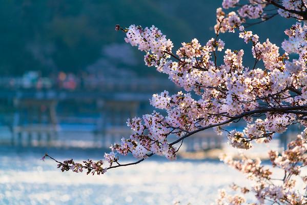 Sakura in Arashiyama