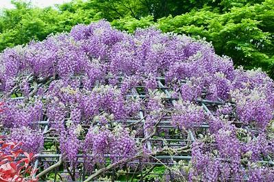 河内藤園,  北九州