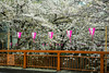 Sakura cherry blossom trees blooming with festival lanterns along the Meguro river, Japan, Asia.