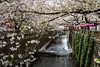 Sakura cherry blossom trees blooming along the Meguro river, Japan, Asia.