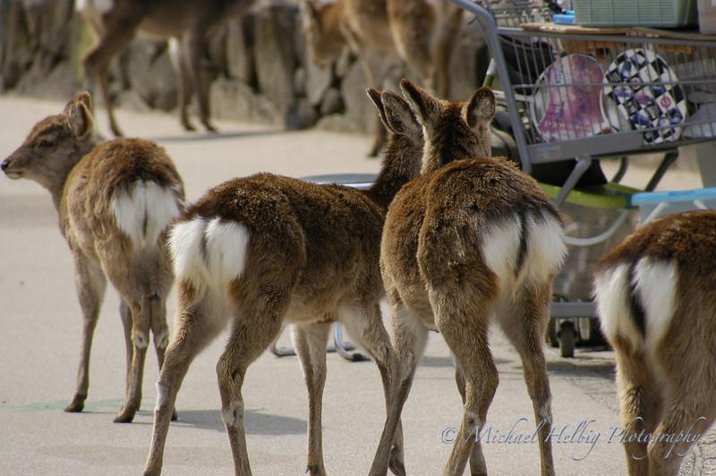 Deer - Miyajima