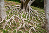 A sprawling tree root in the gardens of Shikinaen, located on a small hill to the south of Shuri Castle in Naha, Okinawa, Japan.