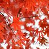 Red in Nikko 2