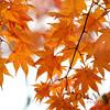 Orange in Nikko