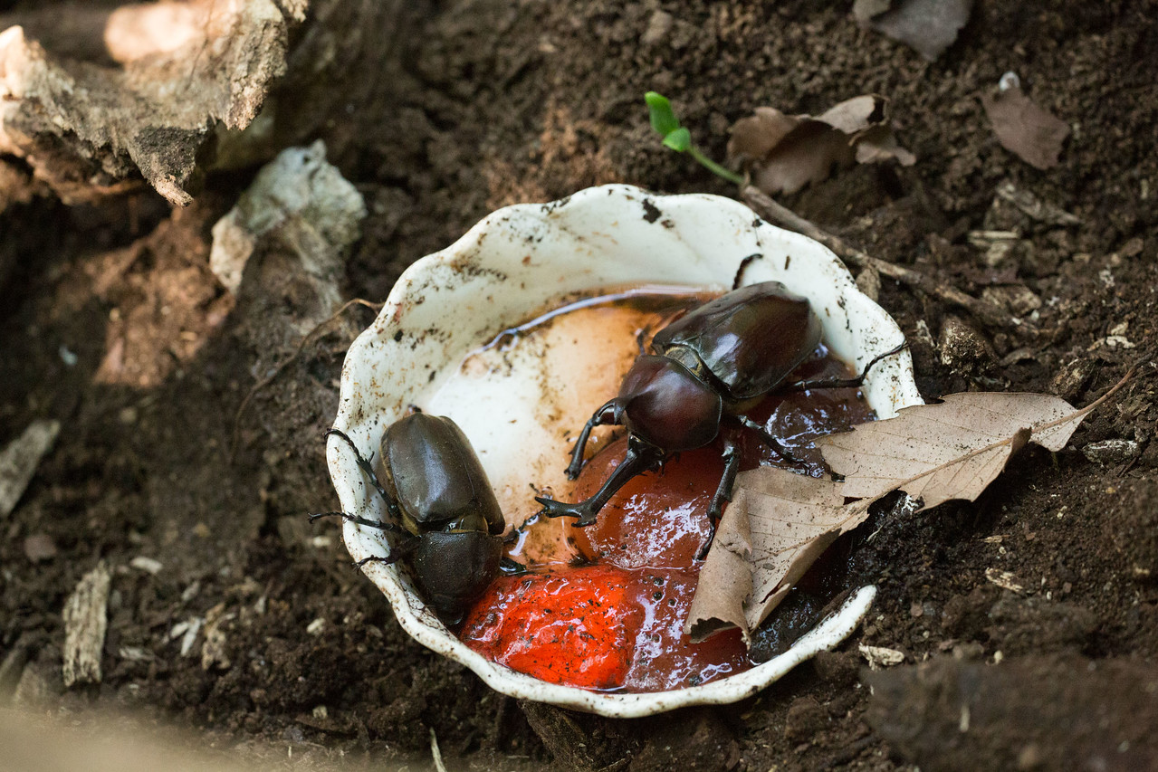 Beetle feeding at Machida Squirrel Park