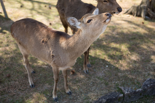"The deer have learned to ""bow"" for tourists to get fed more deer biscuits"