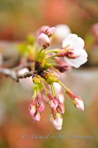 Sakura: Cherry Blossoms