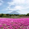 Shibazakura Fuji