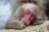 Snow Monkey resting as grooming takes place