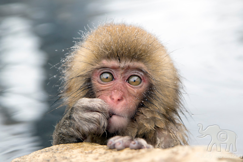 "Baby Macaque monkey, commonly called ""Snow Monkeys"". The most famous area is Jigokudani (Hell valley) in Joshinetsu-Kogen National Park in the northern part of Nagano prefecture."