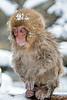 Snow monkey baby sitting on log