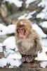 Snow monkey sitting on a log