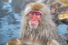 Large dominate snow monkey in hot springs