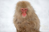 Close up of Macaque monkey