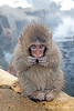 Snow monkey looking in camera