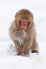 Baby Macaque monkey eating treats in snow