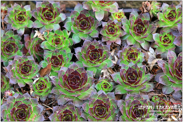 Hen and chicks