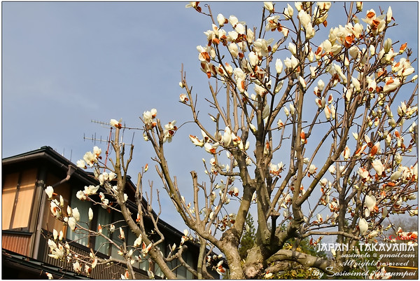 Sun bathing and looking pretty - white Magnolia ?